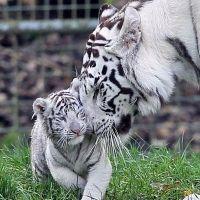 Tigre Blanco con su cachorro