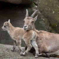 Primeros pasos de una cría de cabra