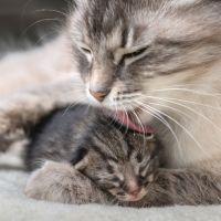 Mamá gata lamiendo a su gatito