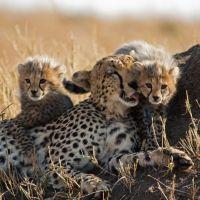 Crías de guepardo con su madre