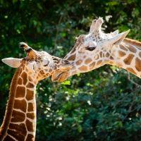 Una jirafa se inclina para atender a su cría