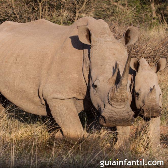 Mamá rinoceronte ayuda a su cría a caminar
