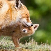 El instinto maternal para los zorros
