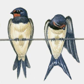 La golondrina y los pájaros