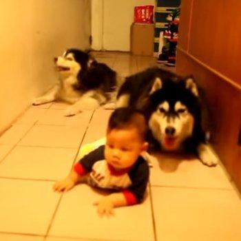 Perros enseñan bebé a gatear