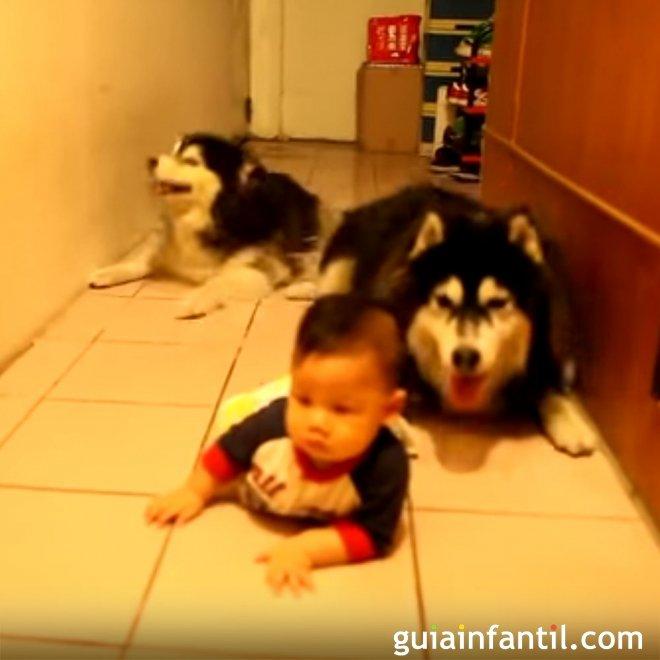 Perros imitan a bebé cuando gatea