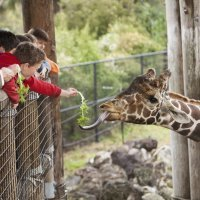 Las jirafas. Respuestas a las preguntas de los niños