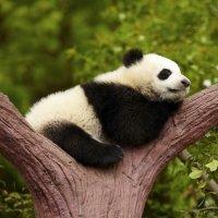 Preguntas de los niños sobre los osos panda