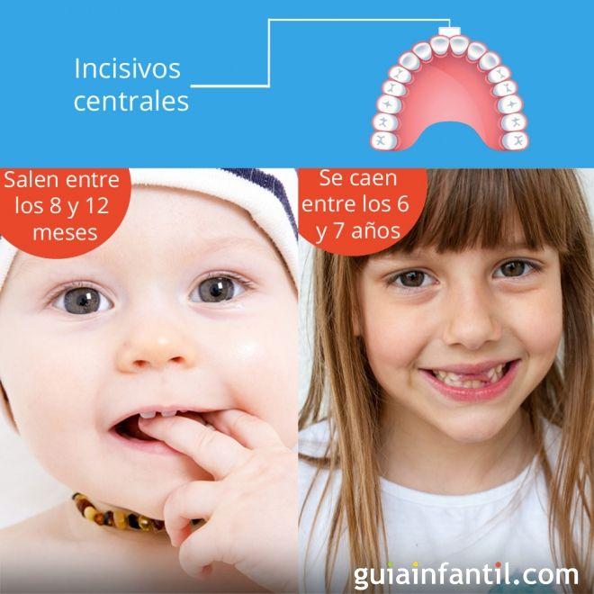 Dientes incisivos centrales salen entre los 8 y 12 meses y se caen a los 6 o 7 años