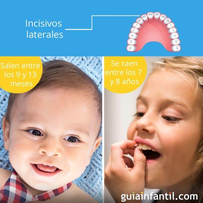 Los dientes incisivos laterales salen entre los 9 y 13 meses de edad y se caen entre los 7 y 8 años.