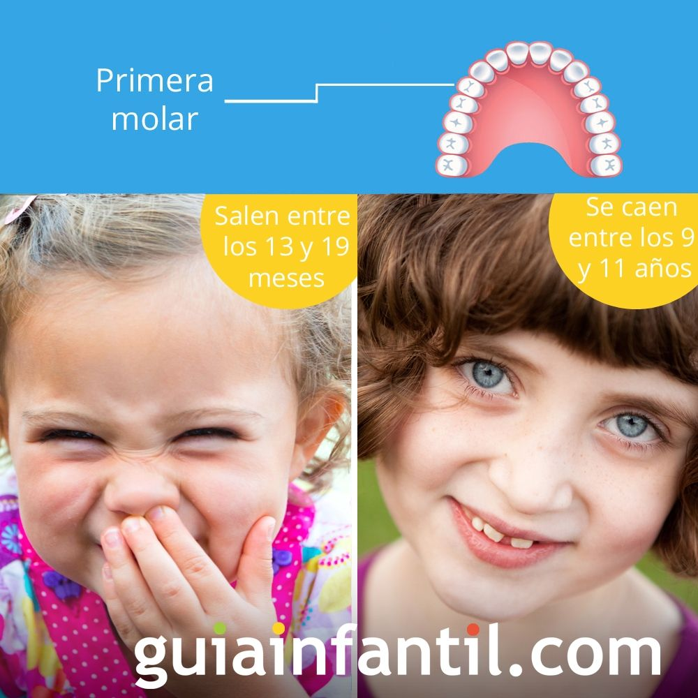 La primera molar sale entre los 13 y 19 meses de edad y se cae entre los 9 y 11 años