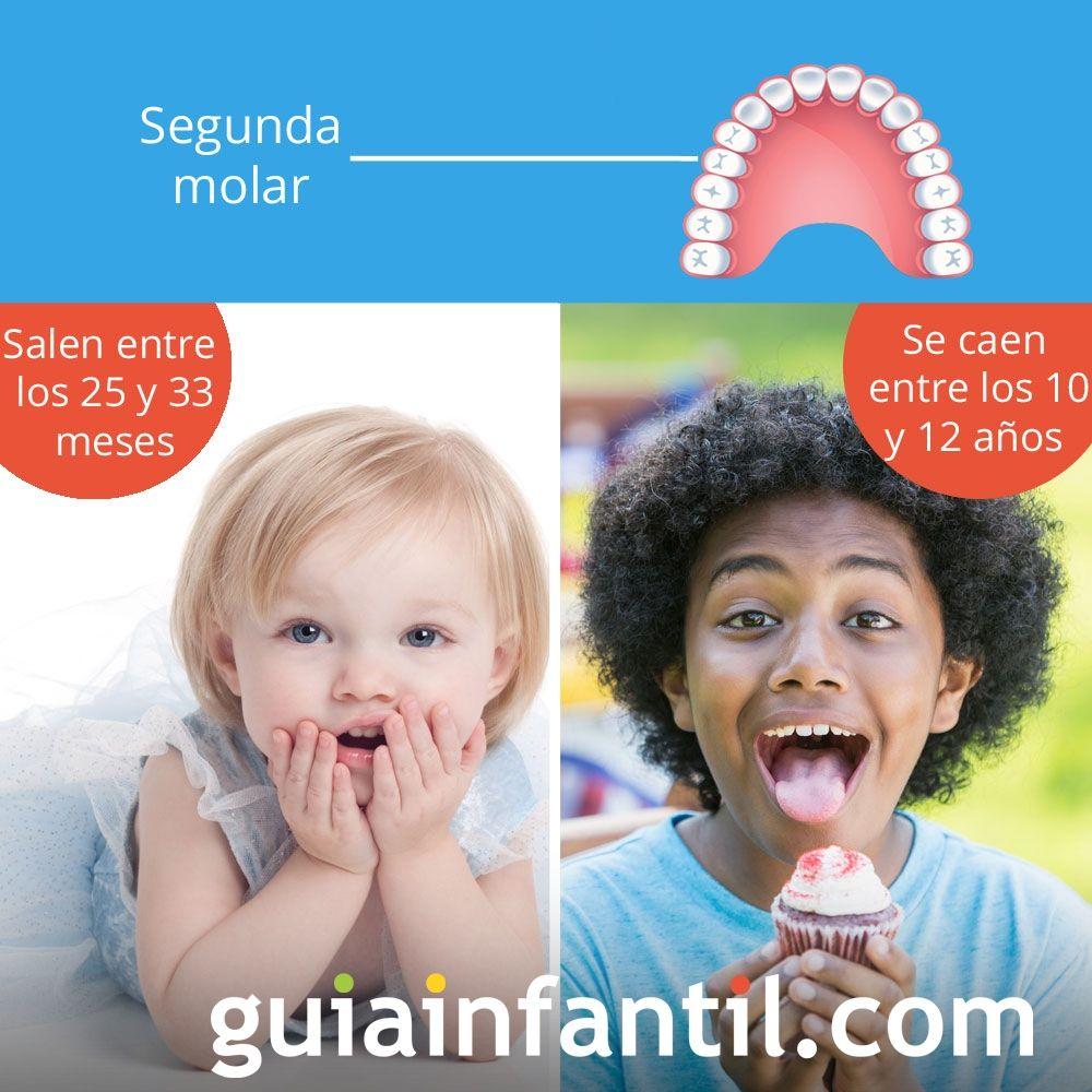 La segunda molar sale entre los 25 y 33 meses de edad y se cae entre los 10 y 12 años