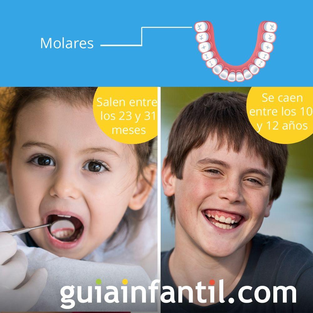 Los molares salen entre los 23 y 31 meses de edad y se cae entre los 10 y 12 años