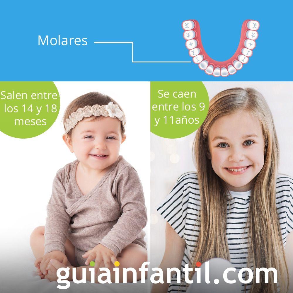 La segunda molar sale entre los 14 y 18 meses de edad y se cae entre los 9 y 11 años