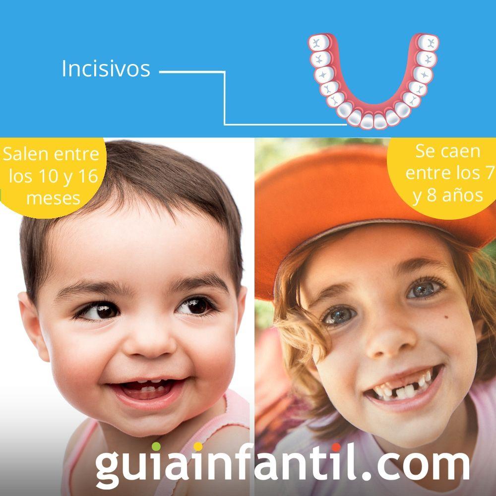 Los incisivos salen entre los 10 y 16 meses de edad y se caen entre los 7 y 8 años