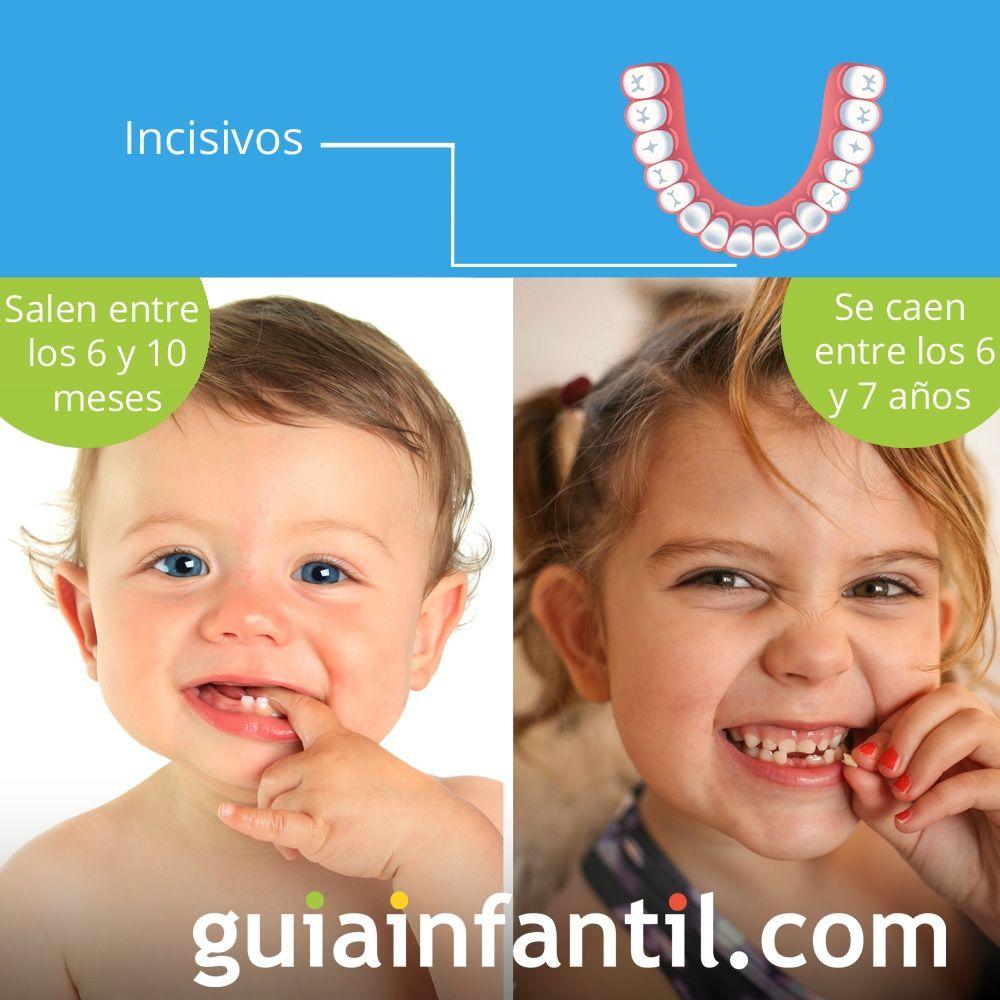 Los incisivos salen entre los 6 y 10 meses de edad y se caen entre los 6 y 7 años