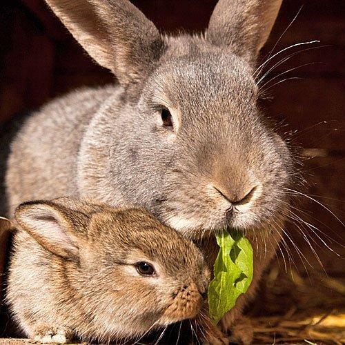 Madre conejo alimentando a su bebé