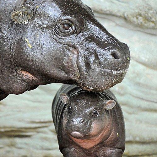 Mamá hipopótamo acariciando a su cría
