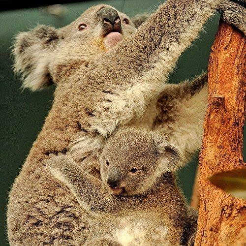 Koala con su cria trepa a los árboles