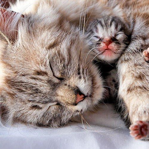 Gata y gatito durmiendo la siesta