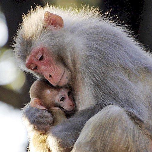 Resultado de imagen de Simios protegiendo a sus crías