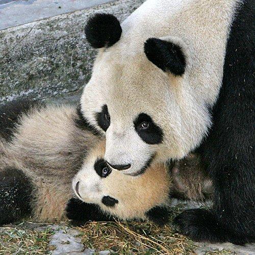 Oso panda jugando con su madre