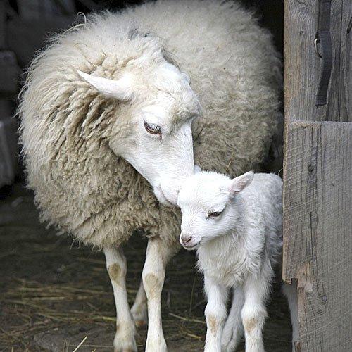 Tiernas caricias de una oveja a su cría