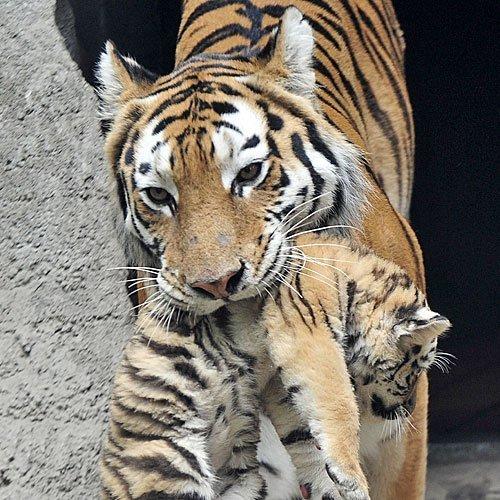 Mamá tigre transportando a su cachorro
