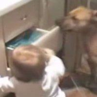 Un perro aleja a un bebé del peligro