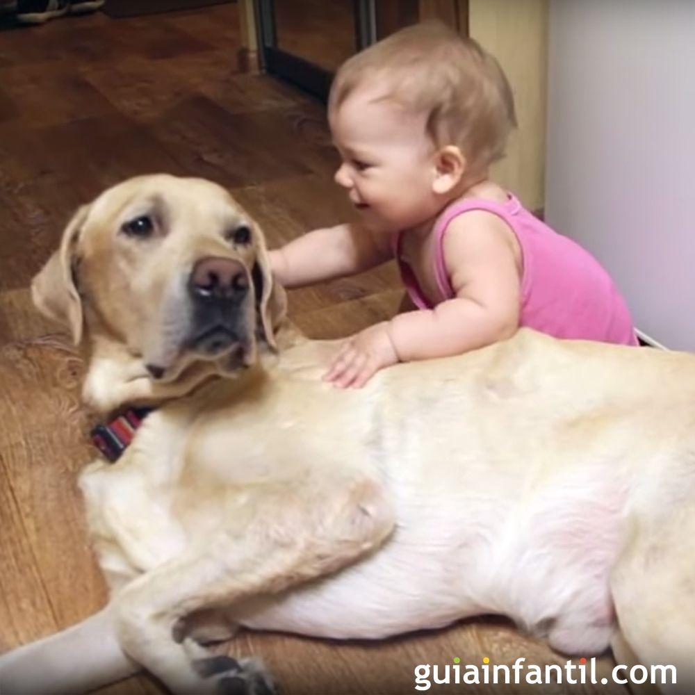 Bebés Y Perros Labrador