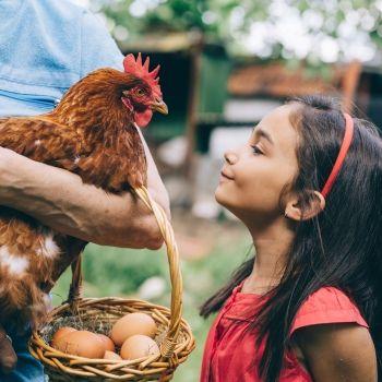 Las gallinas. Uno de los animales de granja favoritos de los niños