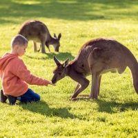 Los canguros. Curiosidades sobre este animal para contar a los niños