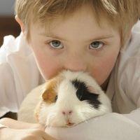 Las cobayas. Los animales favoritos de los niños