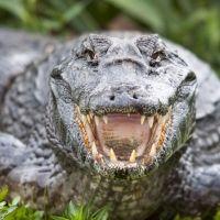 Curiosidades sobre los cocodrilos para niños