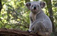 Por qué un koala no es un oso.