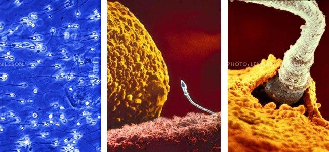 Espermatozoides llegan