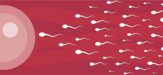 espermatozoides llegan al óvulo