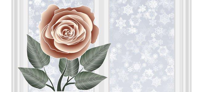 Rosa de Navidad