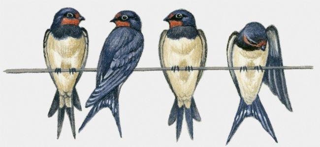 Fábula de La golondrina y los pájaros.