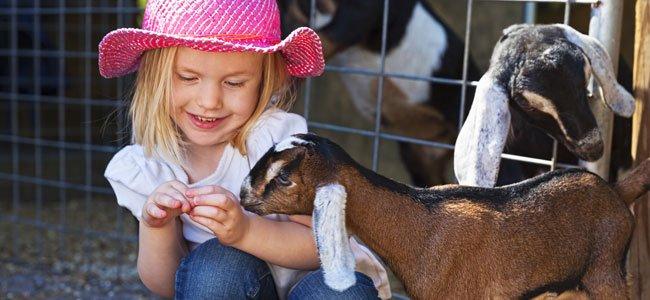 Bebé da de comer a una cabra