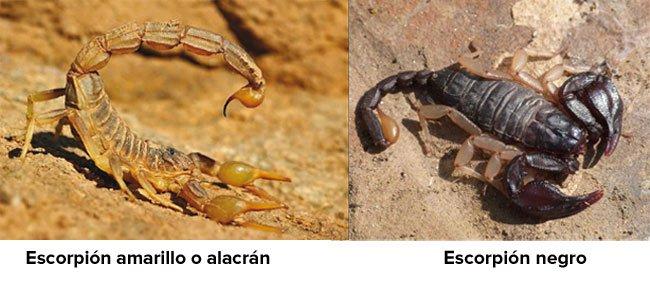 Escorpiones peligrosos para los niños