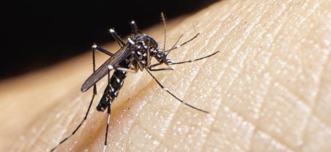 Mosquito del Zika escala